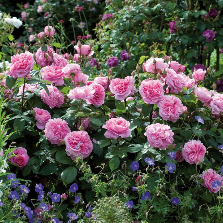Buying and planting a David Austin RosePlant